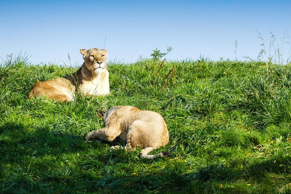 Lioness, Lion, Animal World, Predator, Safari, Animal