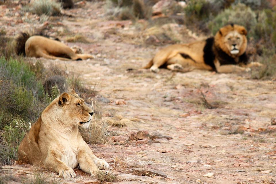 Lion, Lions, Lioness, Safari, Baby Rhinoceros