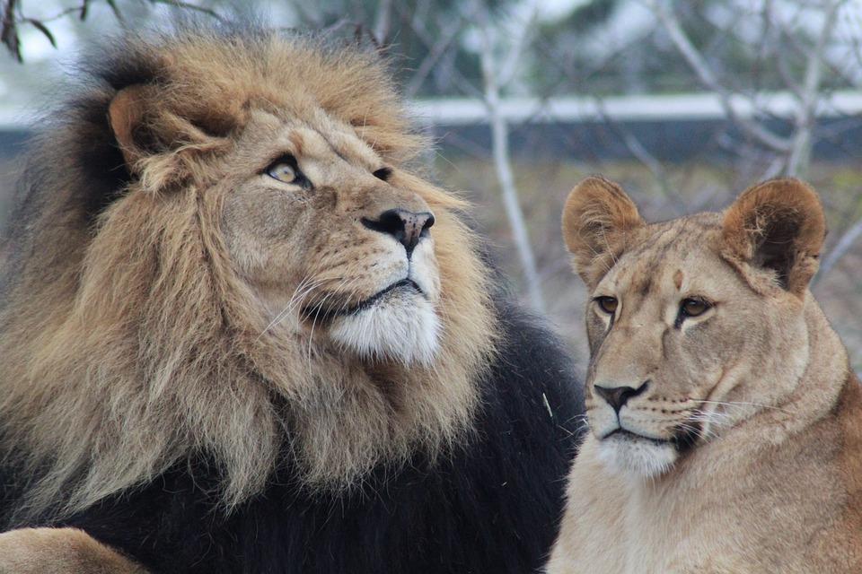 Male Lion, Lioness, Lion, Lions, Zoo, Wildlife