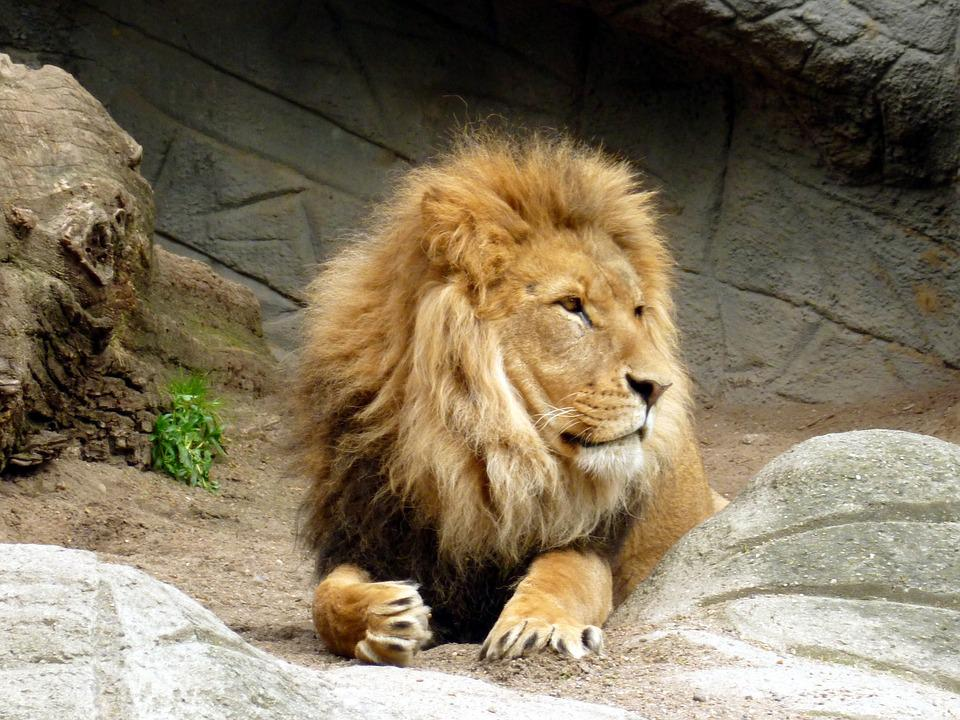 Free Photo Lion Lions Male Lion's Mane King Of The Beasts