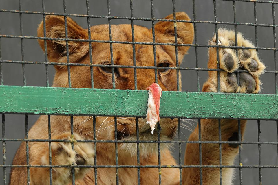 A Lion In A Cage, Lion Looking For Meat