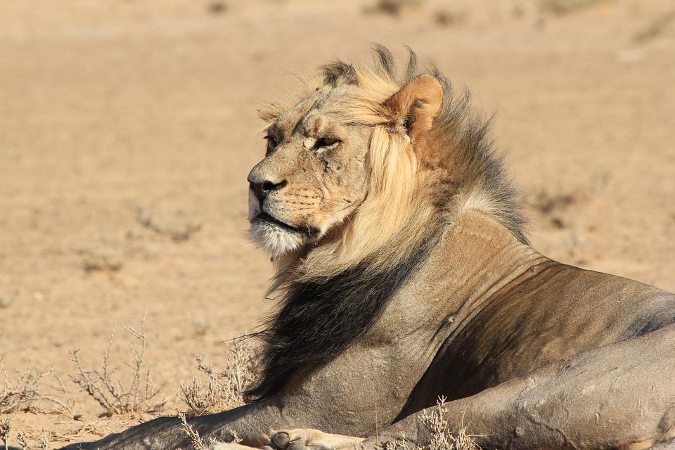 Lion, Africa, Wild, Wildlife, Animal, Male, Safari