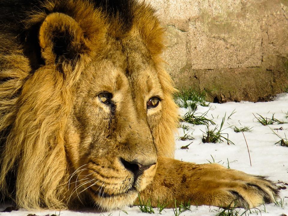 Lion, Predator, Cat, Male, Zoo, Nuremberg, Mane, Winter