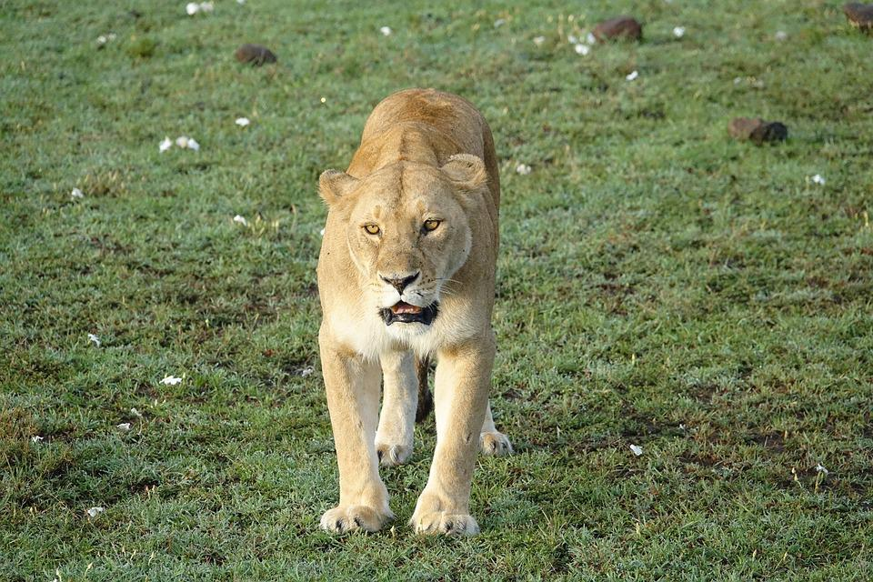 Mammal, Wildlife, Lion, Nature, Animal, Lioness