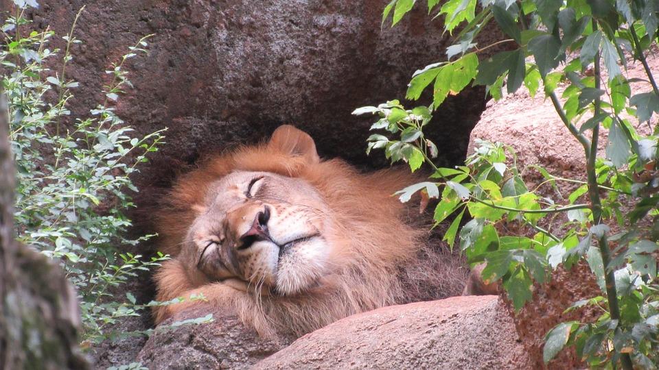 Lion, Sleeping Lion, Cat, Animal, Nature, Zoo, Mammal