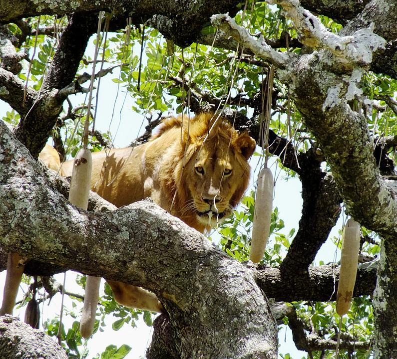 Wildlife, Lion On Tree, Animal, Panthera, Serengeti