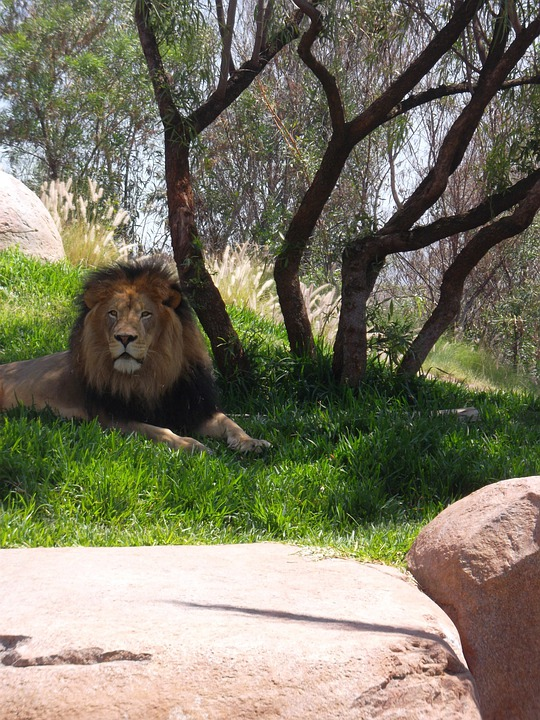 Male Lion, Leo, Panthera Leo, Big Cat, Lion, Carnivore