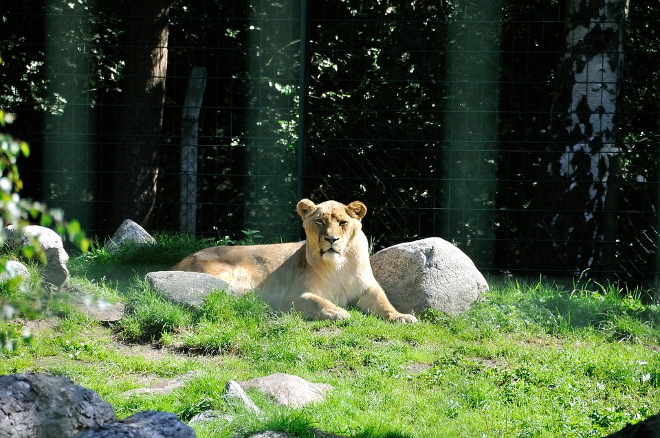 Lion, Wild, Zoo, Lioness, Fur, Animal, Predator, Park