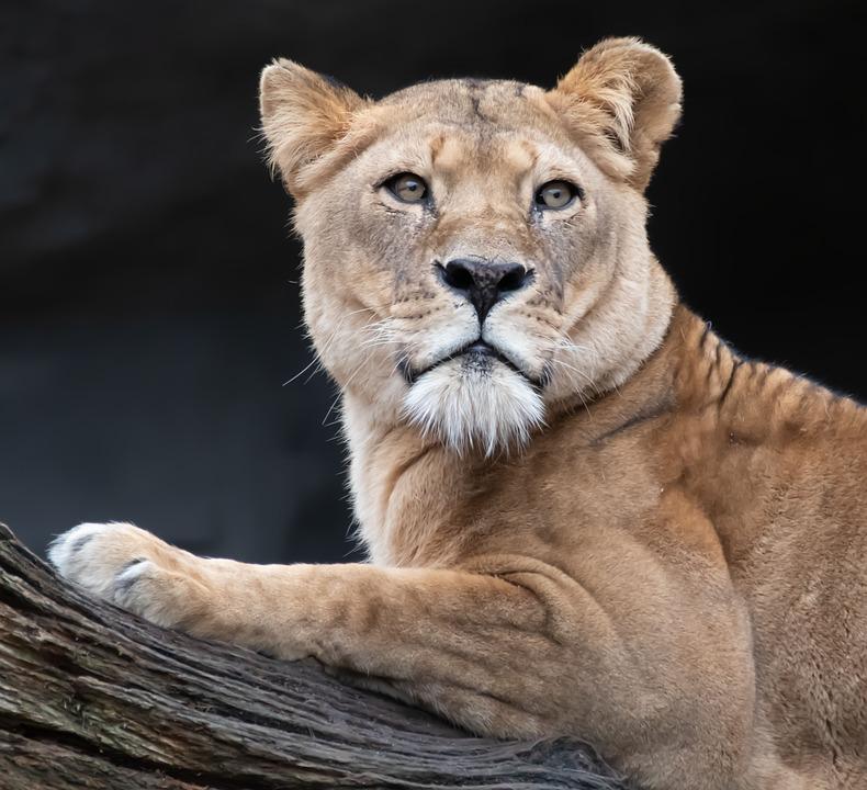 Lion, Lioness, Big Cat, Portrait, Nature, Animal, Cat