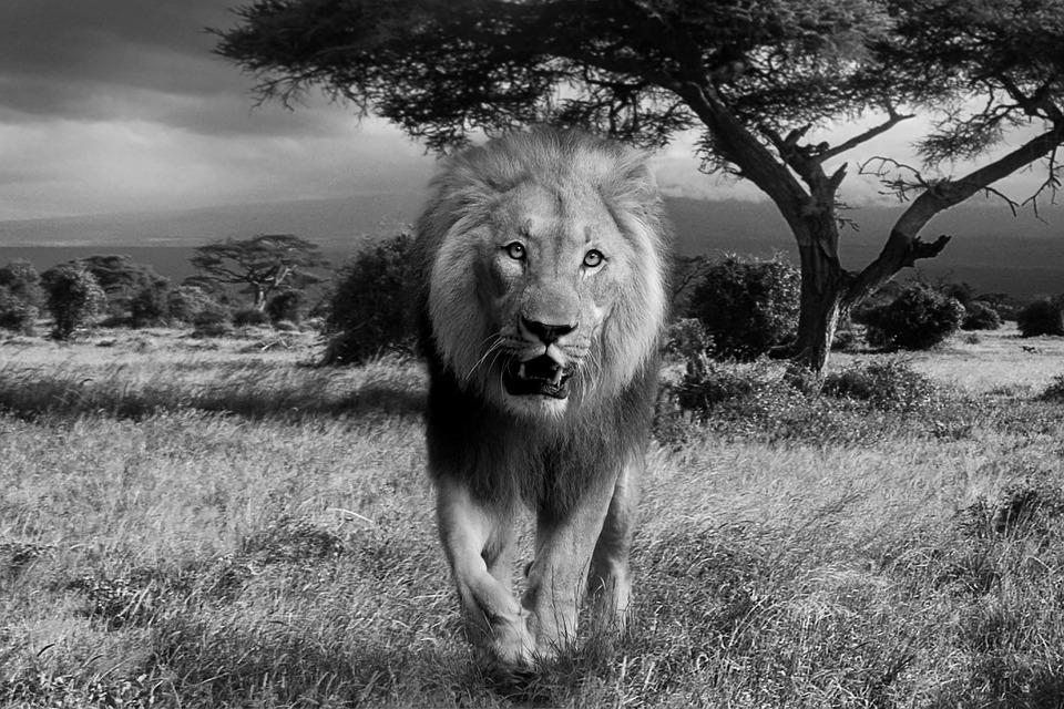 Lion, Africa, Wildcat, Predator, National Park