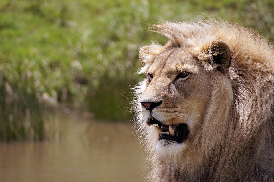 Lion, South Africa, Wildlife, Africa, Safari, Nature