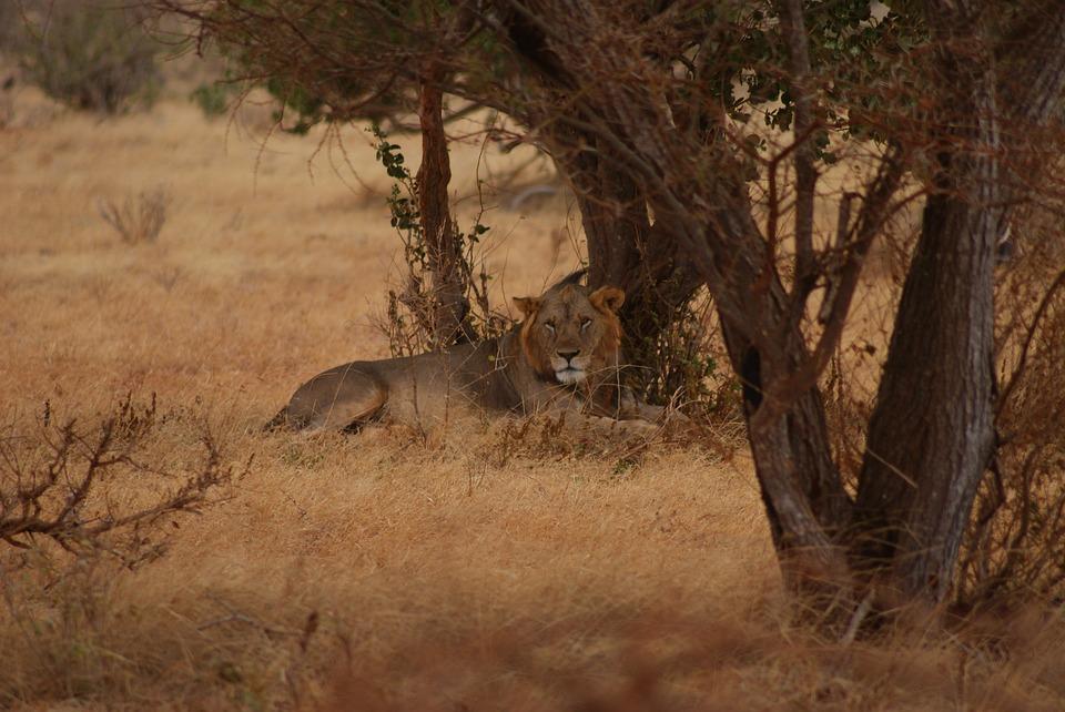 Tree, Nature, Mammal, Park, Lion