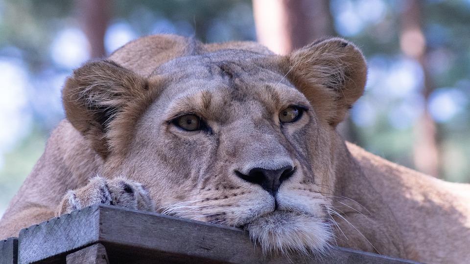 Lion, Lioness, Animal World, Wild, Safari, Cat