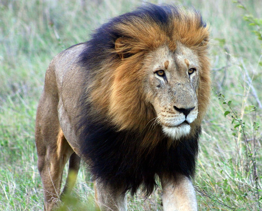 Wildlife, Lion, Mammal, Cat, Animal