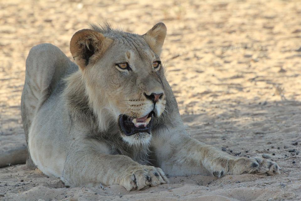 Lion, Young, Africa, Wildlife, Nature, Safari