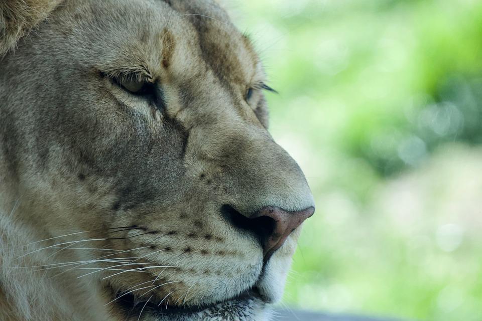 Animal, Mammal, Wildlife, Nature, Portrait, Lioness