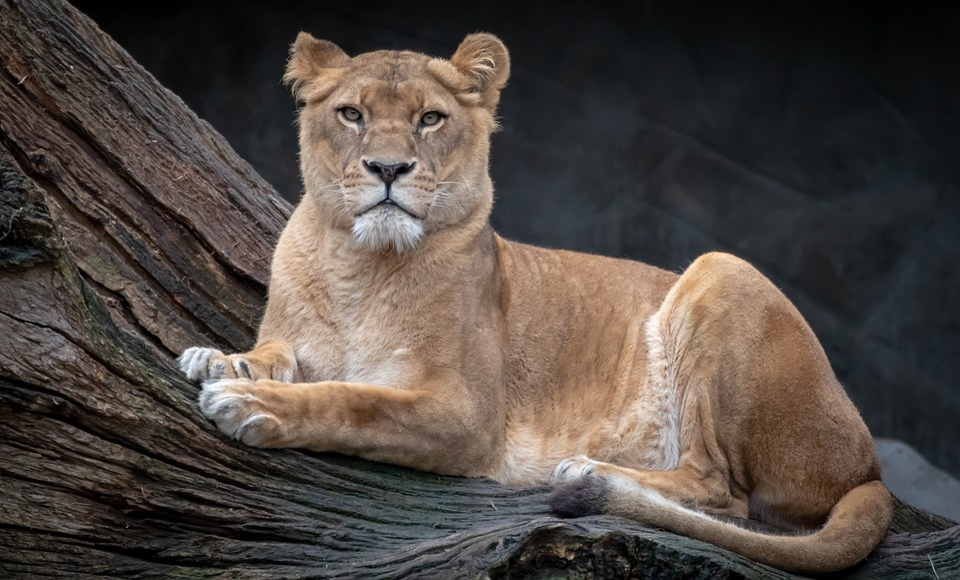 Lion, Lioness, Animal World, Predator, Big Cat, Nature