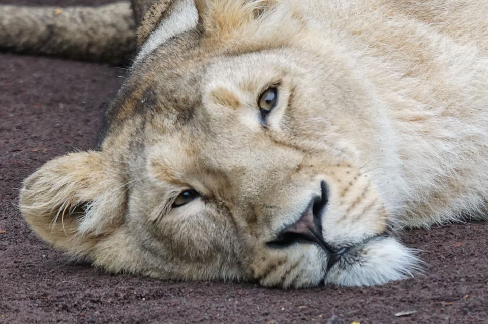 Lioness, Rest, Carnivores