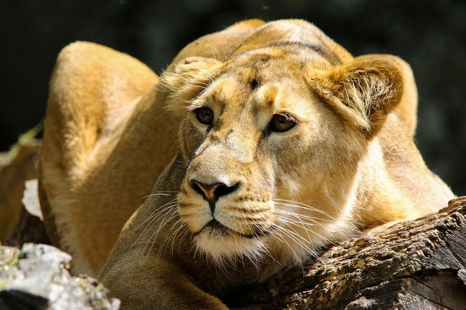 Lion, Lioness, Animal, Predator