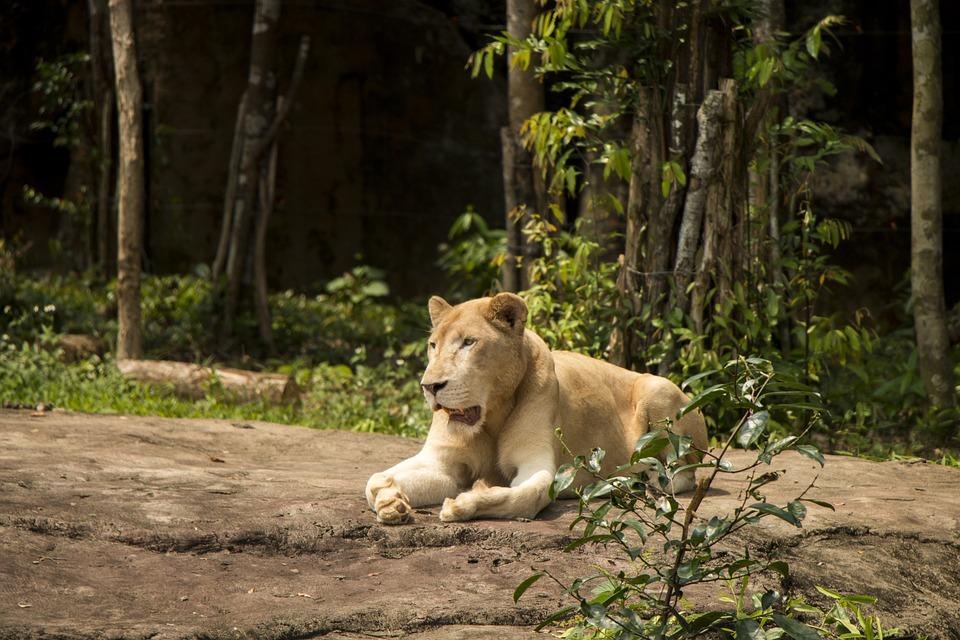 Lioness, Lion, Animal, Safari, The Zoo, Wilderness
