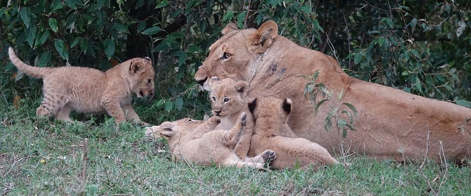 Wildlife, Animal, Nature, Mammal, Wild, Lioness