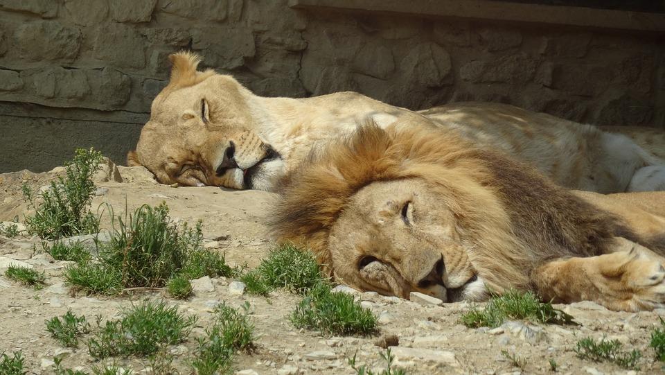 Free Photo Lioness Mane Lion Females Lion Pair Zoo Partner Max Pixel