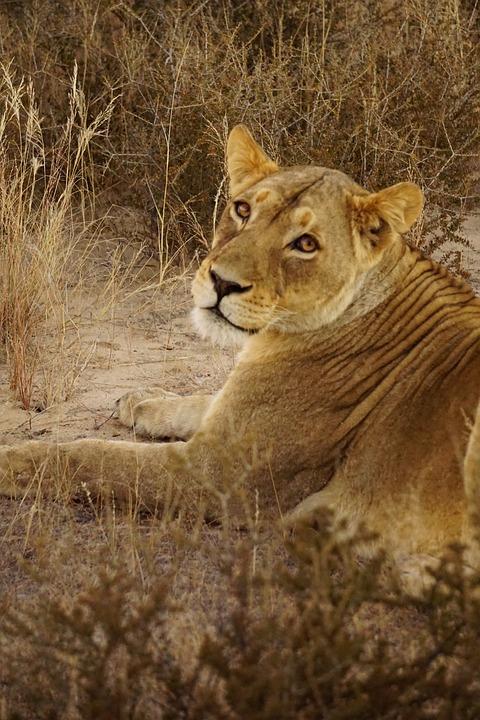 Lion, Lioness, Africa, Namibia, Wildlife, Wild, Wildcat