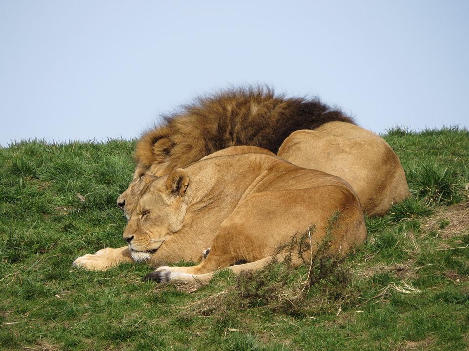 Free Photo Lioness Nature Lions Lion Predator Animals Max Pixel