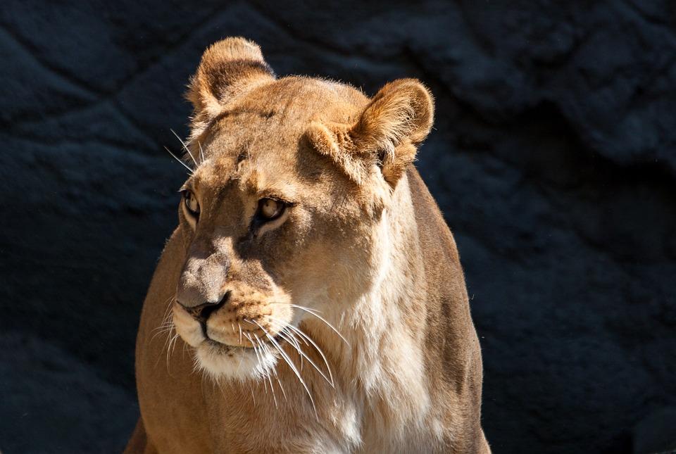 Lion, Lioness, Predator, Cat, Female