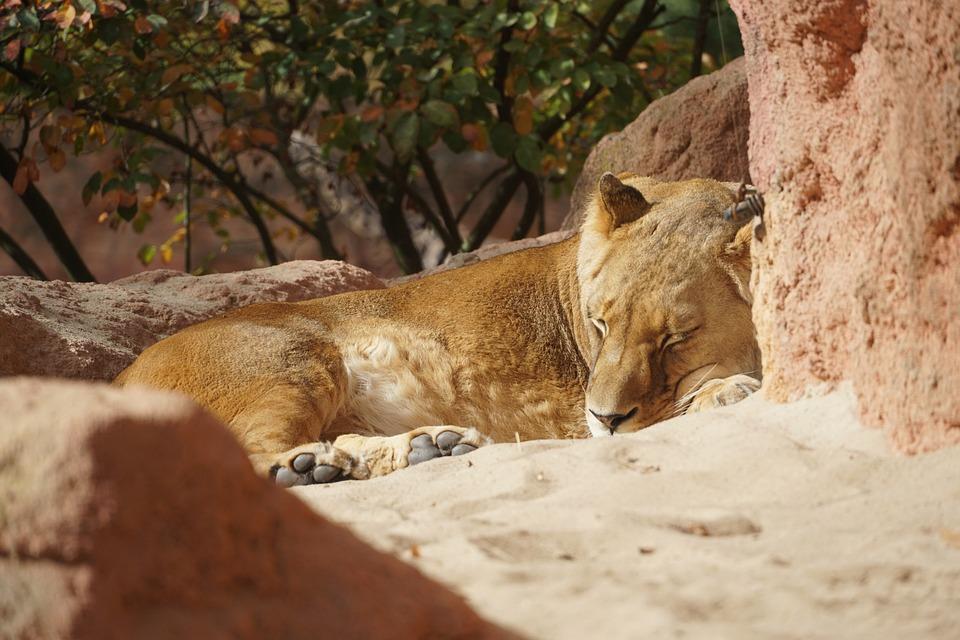 Lioness, Zoo, Sun, Sleep, Predator, Animal World
