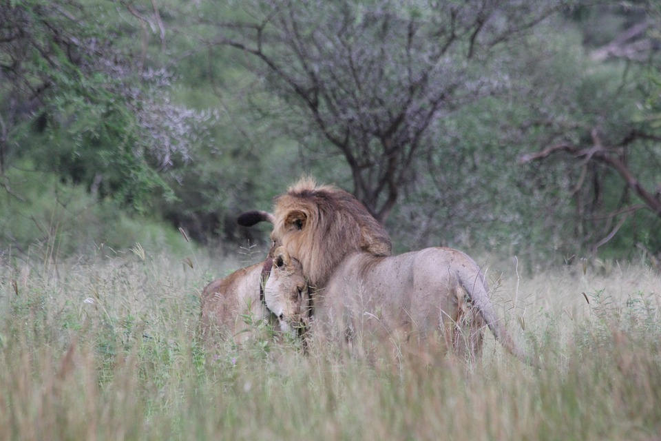 Lion, Lioness, Couple, Pair, Africa, Tanzania