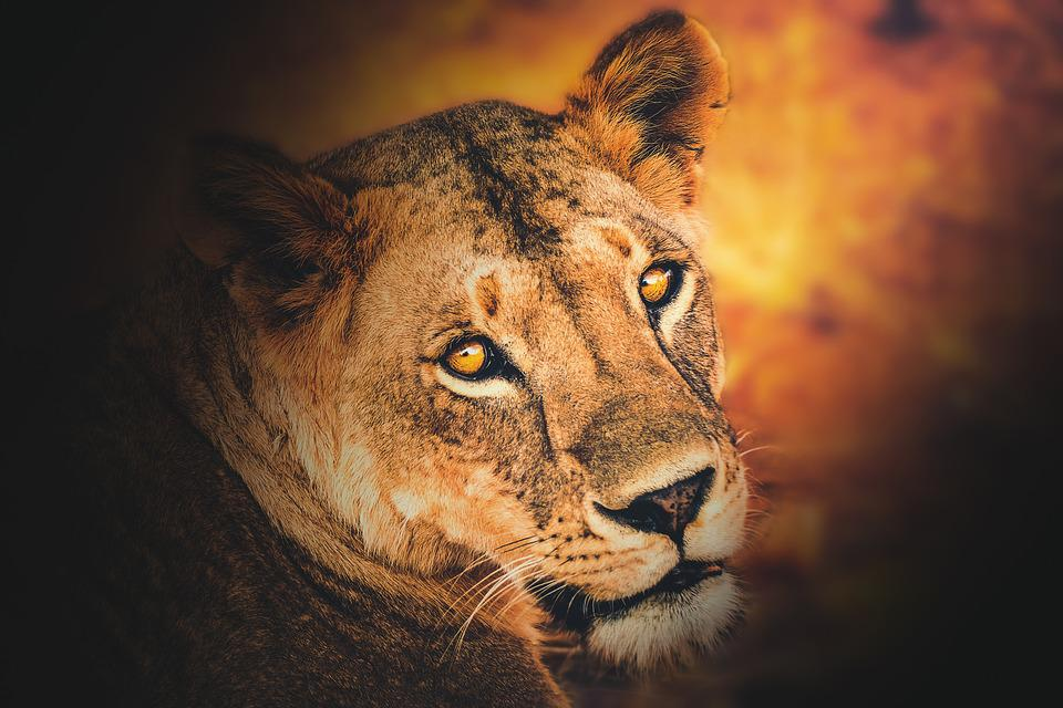 Wallpaper, Background, Lioness, Lion, Animal, Wild