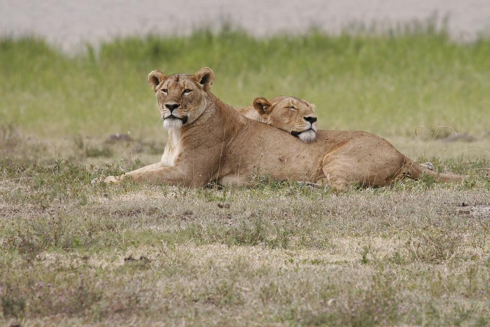 Lion, Lioness, Lionesses, Rest, Relax, Animal, Wildlife