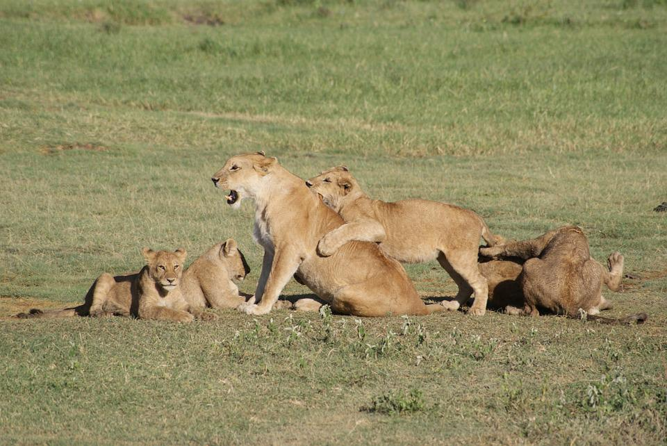 Lions, Africa, Animals