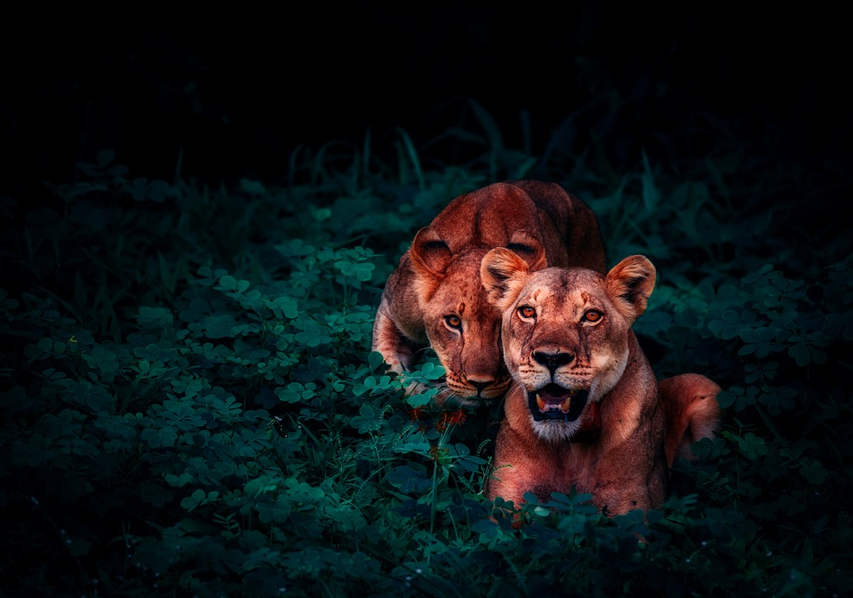 Lions, Cubs, Pair, Jungle, Nature, Outside, Outdoors