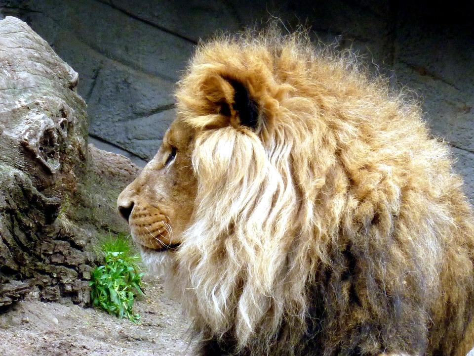 Lion, Lions Male, Animal Head, Lion Head, Lion's Mane