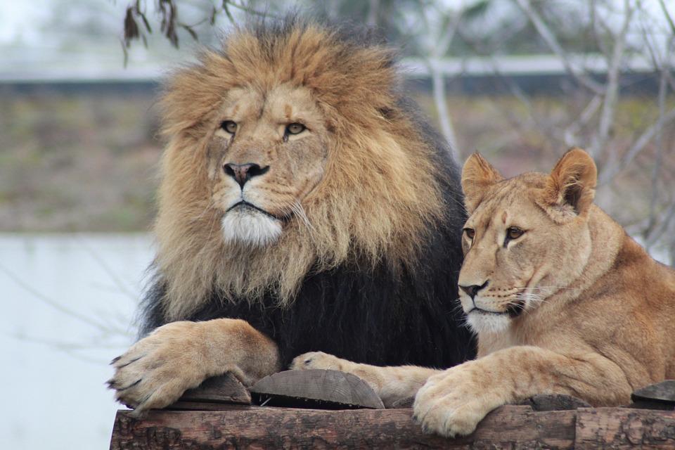 Male Lion, Lioness, Lion, Lions, Zoo, Expensive