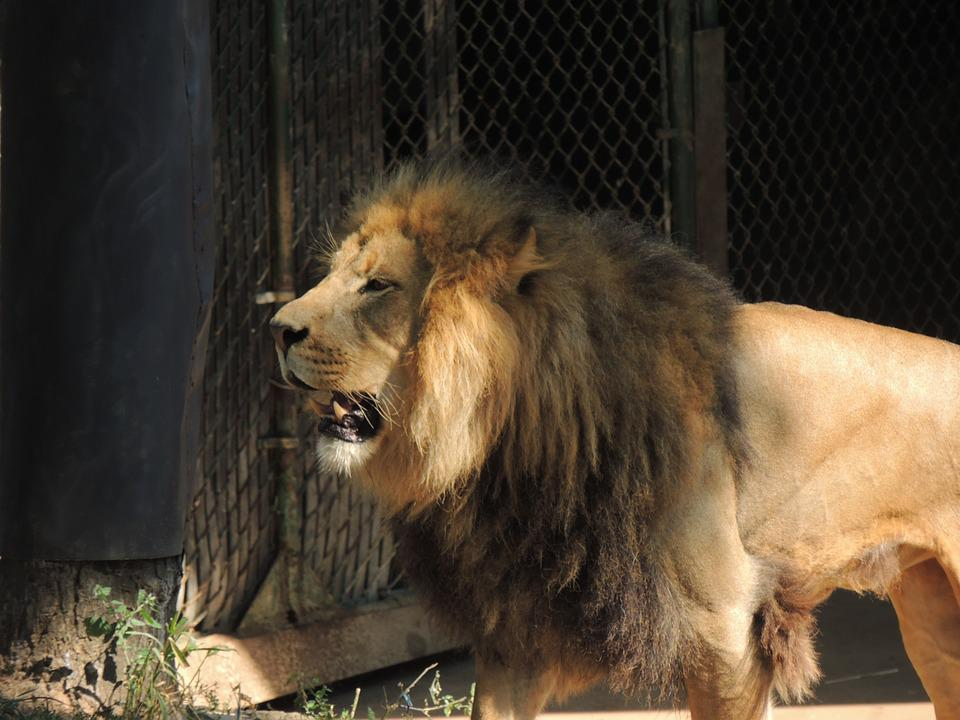 Free Photo Lion's Mane Zoo Lion Male Lion King Of The