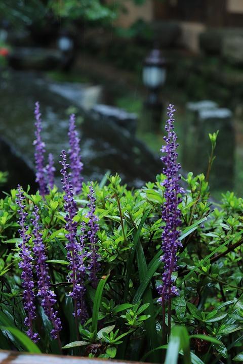 Liriope, Flower, Purple, Plant, Plants, Wood, Wooden