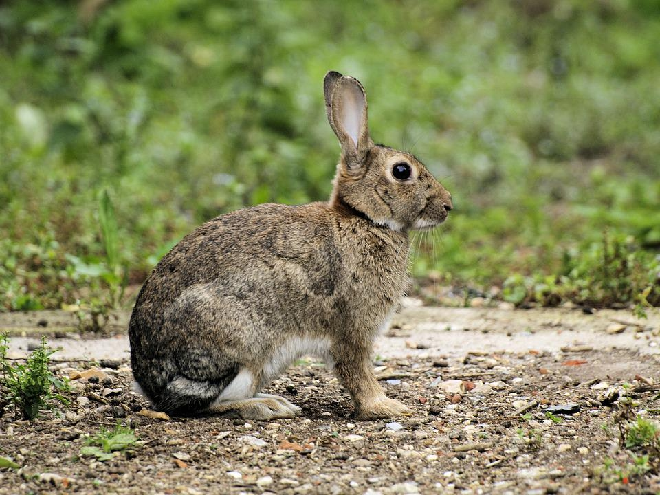 Rabbit, Wildlife, Sitting, Listening, Outdoors