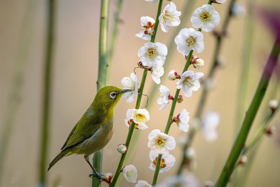 Little Bird, Japanese White-eye, Zosterops Japonicus