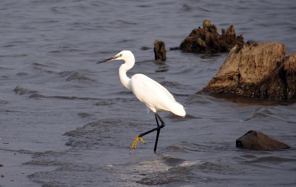 Little Egret, Egretta Garzetta, Yellow-footed Egret
