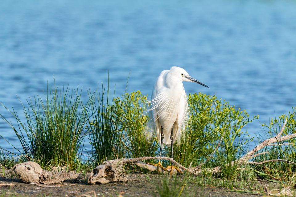 Little Egret, White Heron, Screaming Birds, White