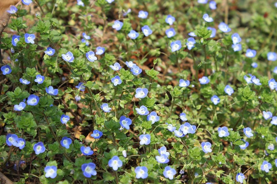 Little Flower, Land, Wild Flowers, Turf