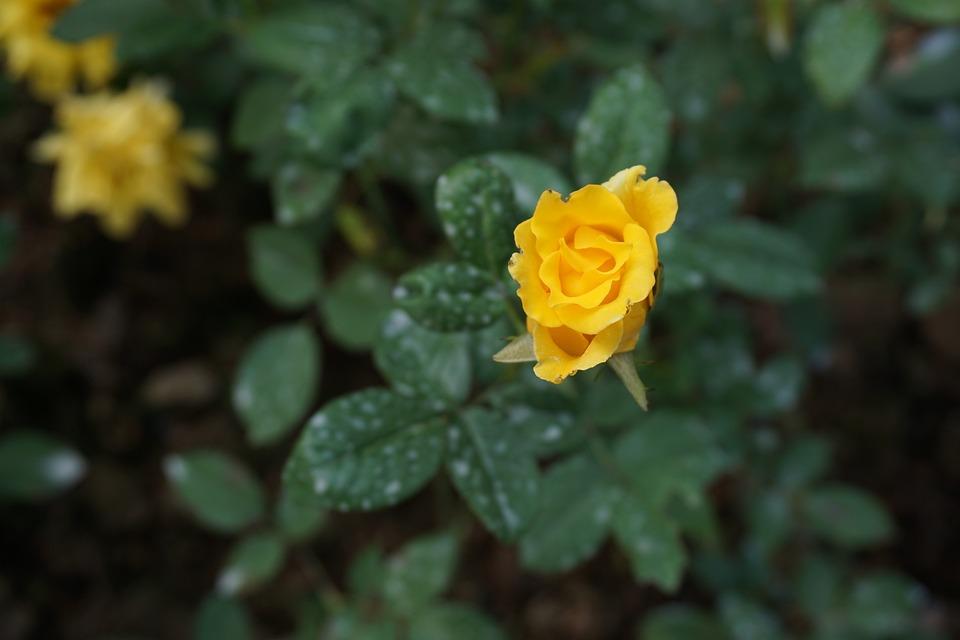 Yellow Roses, Green Leaf, Little Flower