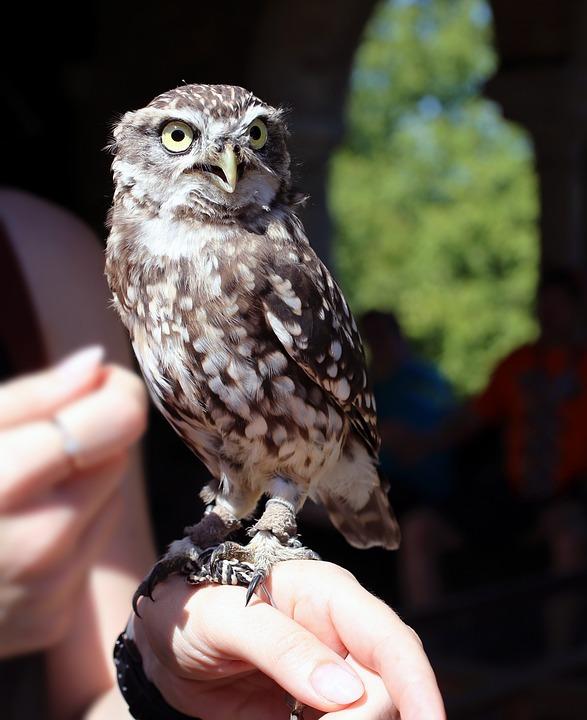 Owl, Burrowing, Little Owl, Plumage, Raptor