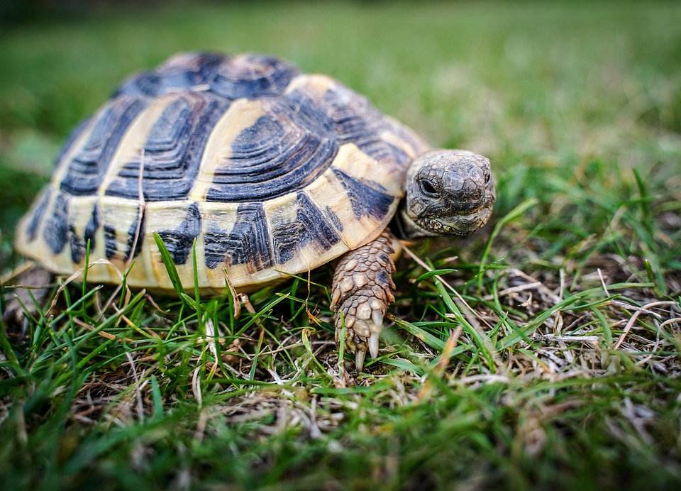 Turtle, Greek Tortoise, Reptile, Animal, Little Turtle