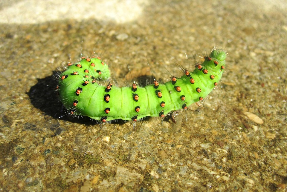 Caterpillar, Green, Nature, Close, Insect, Live, Hair