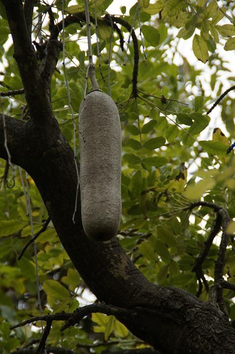Liver Sausage Tree, Kigelia, Bignoniaceae Plants