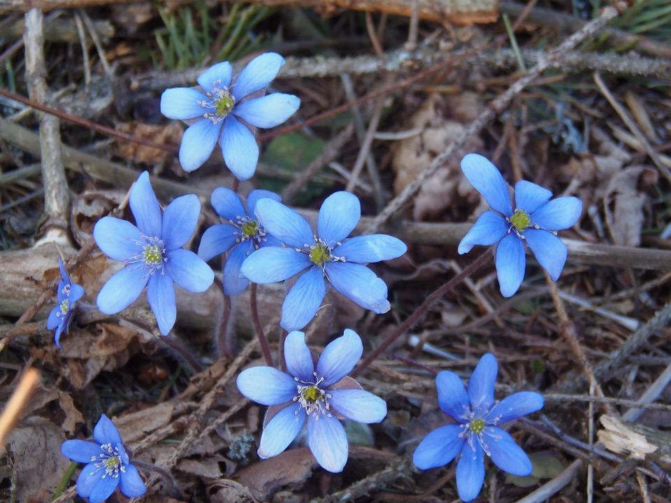 Liverleaf, Liverwort, Flowers, Blue, Spring, Nature